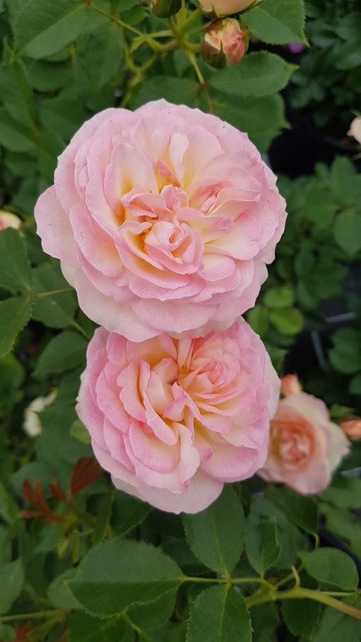 Tema rosor på Gunnebo Trädgård